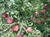 Sweet apple fruit for sale with good quality