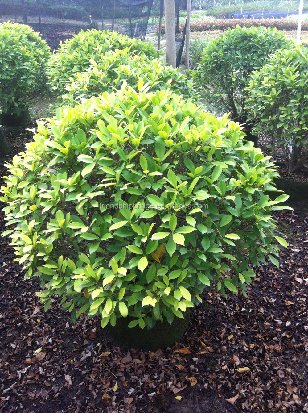 evergreen foliage outdoor landscaping decorative