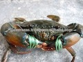 /cangrejo cangrejo fresco/de mar fresca de cangrejo/congelado cangrejo azul/macho de cangrejo azul/hembra de cangrejo azul