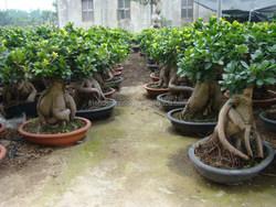 6000 gram Ginseng Ficus Microcarpa