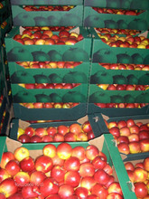 FRESH APPLES FROM POLAND BEST PRICE EXPORT