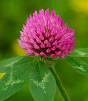 high quality high quantity Purity Red Clover Extract