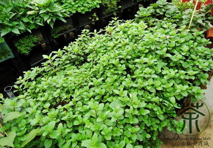 Mentha Arvensis Seeds Mint Mentha Arvensis