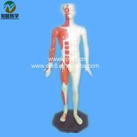 Deluxe human acupuncture model 84CM BIX-Y1004