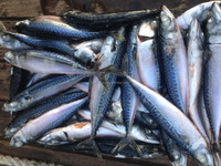 China sea frozen Pacific Mackerel Scomber Japonicus