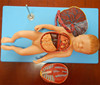 ISO Advanced Anatomical Model of Fetus with Viscus and Placenta, Fetus model