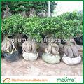 ficus microcarpa bonsái chino de árboles bonsái
