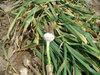 China Cheap Jinxiang Garlic to Nepal Market