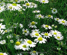 Chamomile Flower Extract/ Organic Chamomile extarct/ Skin health