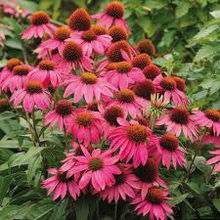 Echinacea Purpurea Whole Plant, Indian Medicinal Herb Dried, artichoke for tea