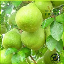 Masoo fresh honey pomelo national fruit and vegetable juicy honey pomelo supplier and exporter in China