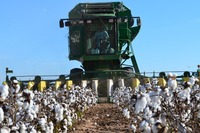 raw cotton, cotton seed, long / short staple shankar-6 raw cotton from North Cameroon. !!! top Supplier !!!