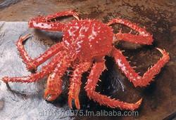 King Crab (Lithodes Antarticus) / Live Format