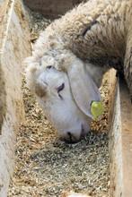 probióticos en polvo para los rumiantes