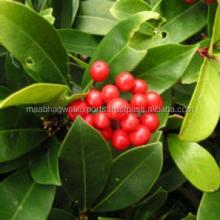 Natural Wintergreen Oil