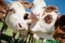 Boer Ziegen, Färsen, Kühe, Kamele, schafe, pferd, burenziegen zu verkaufen