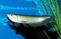 Blue Base Arowana Fish / Red Dragon Arowana Fish / Super Red Arowana Fish !!! Top Supplier !!!