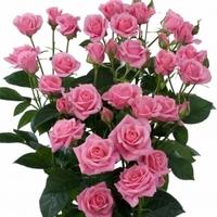 Pink Spray Rose Odilia