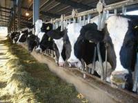Healthy holstein heifer cows for sale