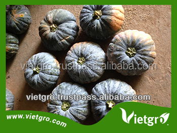 HIGH YIELD F1 HYBRID PUMPKIN SEED VGP05