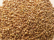 alfalfa seed for sale