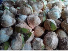 Export Quality Coconut Supply From India
