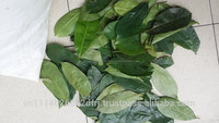 Vietnamese high quality soursop leave
