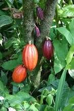Magic Gro Plus for Cultivation of Organic Cocoa