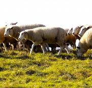Frozen Halal Lamb