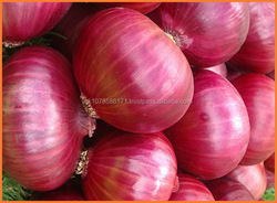 Supplier for Best Quality Fresh Onion