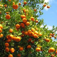 Fresh Citrus Fruits, Valencia Oranges & Lemons High Quality Hot Sales