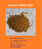 Alfalfa Forage seed