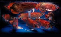 Super Red Arowana Fish and May Other for Sale