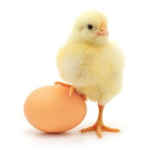 Broiler Hatching eggs (Cobb500 and Ross 308) / Broiler hatching eggs Cobb 500 and Ross 308 and Chicken table eggs