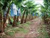 Fresh Bananas/Cavendish/G9 From india