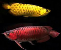 Jardini Arowana Fish Available