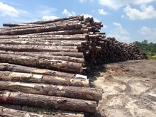 Southern Yellow Pine log