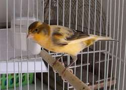 All Yorkshire Canary Birds, live canary birds with free cages