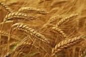 Bulk Wheat