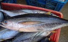 Yellow Fin Tuna Whole Round