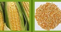 Yellow maize for poultry feed