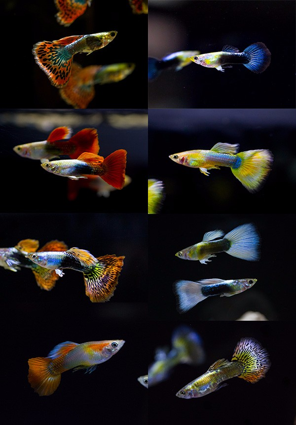 live guppy fish for sale to aquarium fish importer and