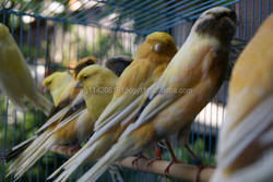 Live Yorkshire Canary birds, Lovebirds, Lancashire Canary , Finches