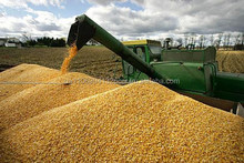 wheat for human consamption and animal feed