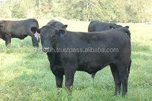 100% Pure Breed Hereford , Angus , Simmental , Heifer Live Cows for sale