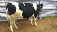 Pregnant Holstein Heifers Cow for Sale
