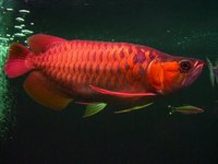 SUPER RED AROWANA FISH FOR SALE