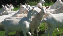 >>high quality milk production>> Saanen Goats for sale