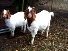 100% Full Blood Boer Goats, Live Sheep, Cattle, Lambs Ready for Export//