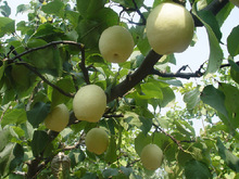 Turkish Fresh Shandong Pear